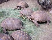 Очень хорошие пары типчака черепах в наличии для продажи