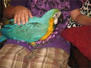 7дома,  поднятые и зарегистрирован синих и золотых попугаи ара для прод