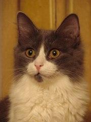 Дымчато-белый кот Том ищет дом!